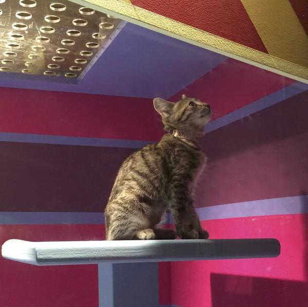 Tiger Tabby Kitten in the Window of Macy's San Francisco