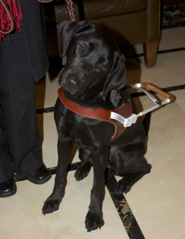Young Guide Dog Trainee Black Labrador Retriever
