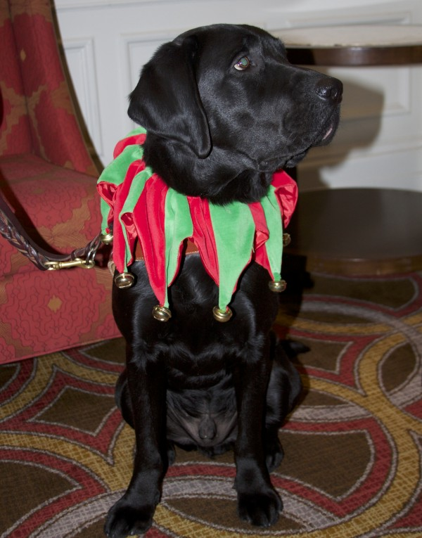 Black Labrador Retriever With A Jester's Collar