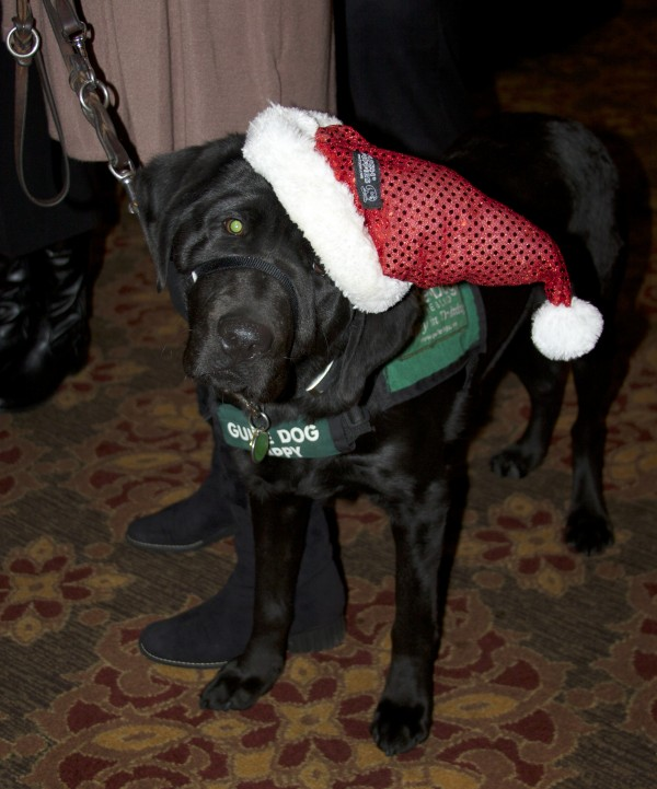 Black Labrador Retriever Guide Dog Trainee in a Santa Hat