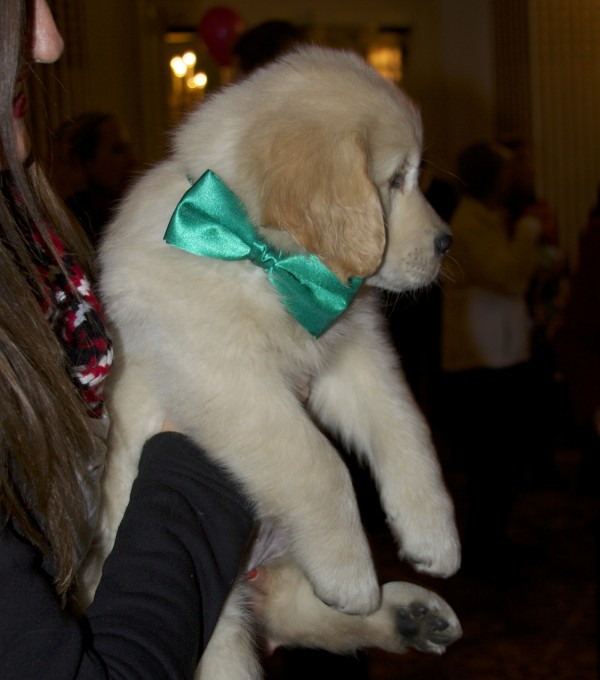 Six-Week-Old Golden Retriever Puppy With Green Bow On Her Collar