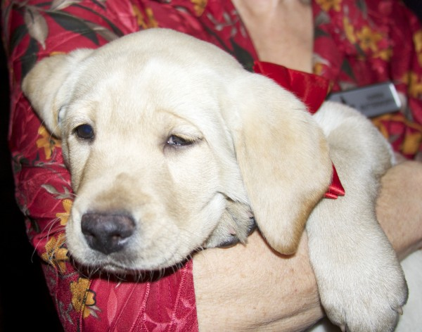Sleepy Yellow Labrador Retriever Puppy
