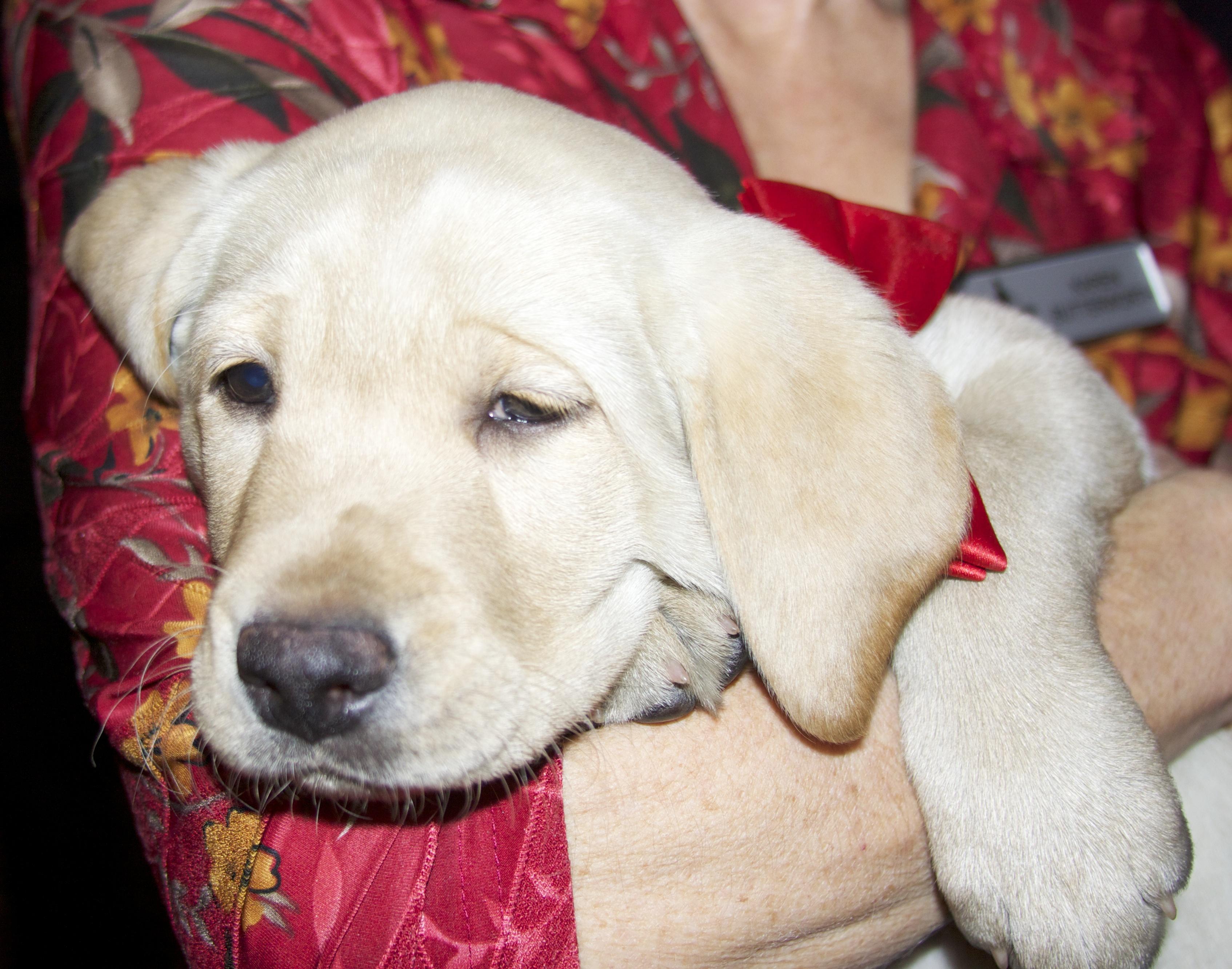 Sleepy Yellow Labrador Retriever Puppy
