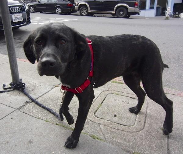 Black Labrador Retriever Mix With Subtle Brindle Coloration