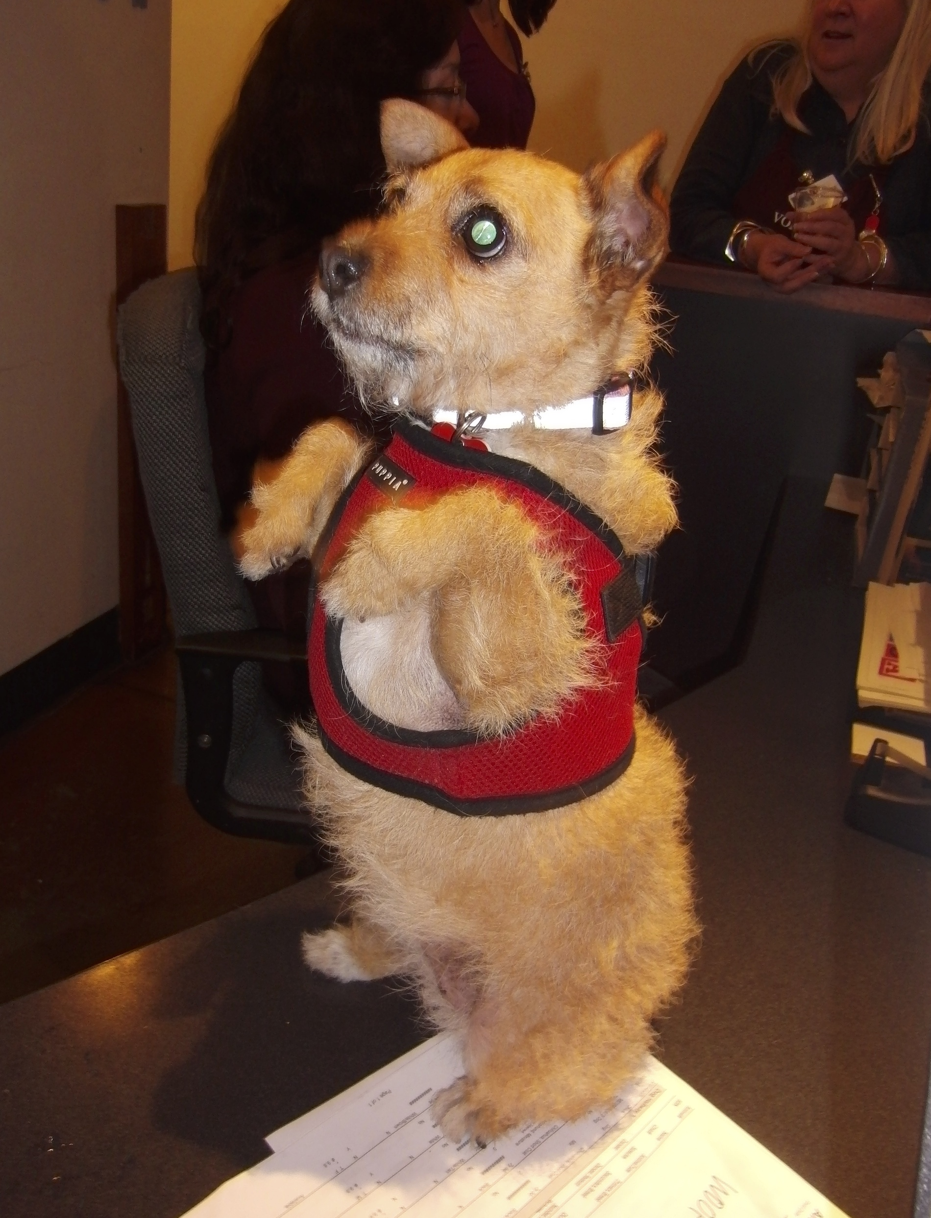 Scruffy Terrier Mix Begging