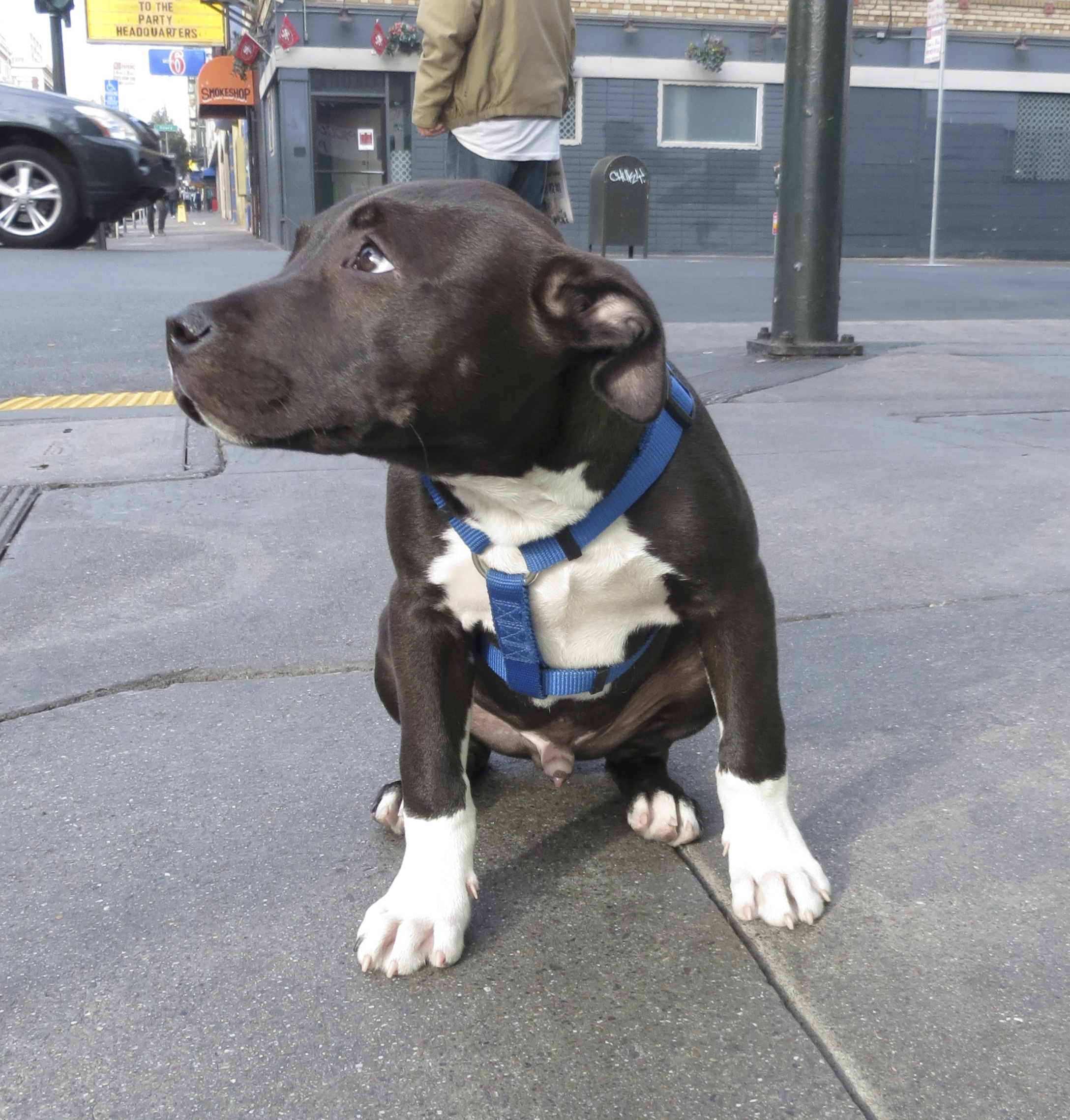 Blue and White American Pit Bull Terrier