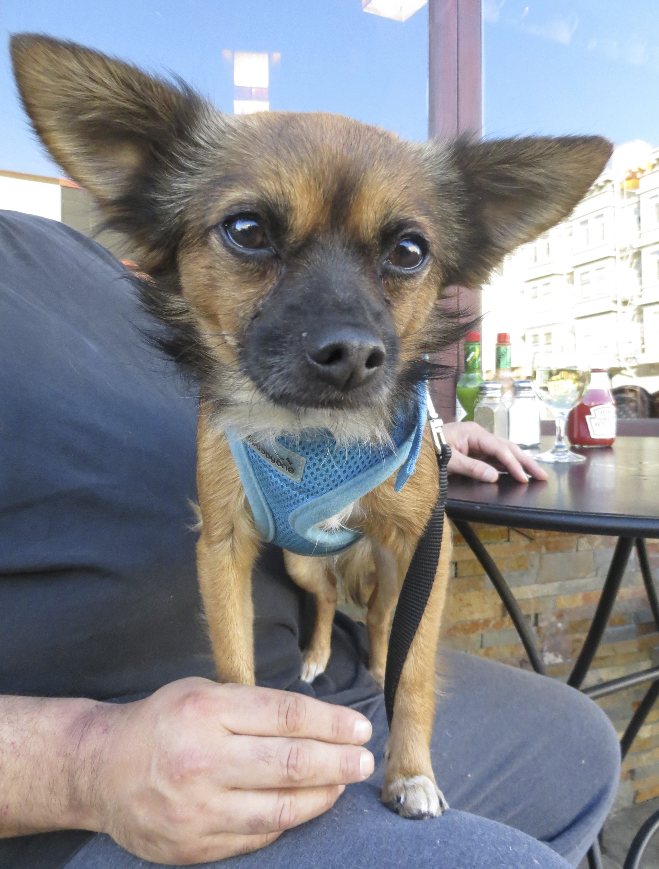 Chuhuahua/Pomeranian Mix With Hilariously Huge Ears