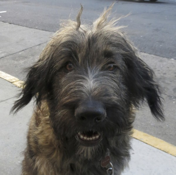 Scruffy Black, Brown, and Tan German Shepherd Poodle Mix With White Spot On Chest