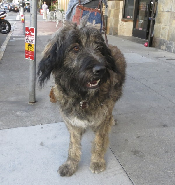 Scruffy Black and Tan German Shepherd Poodle Mix With White Spot On Chest