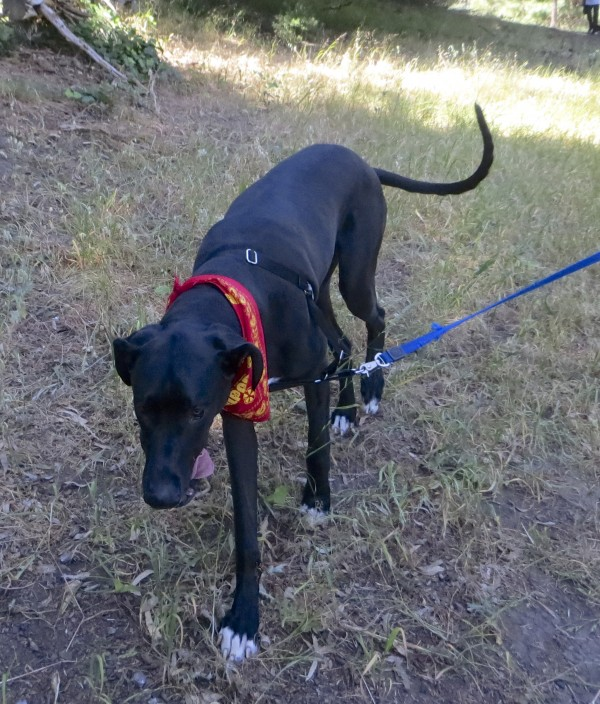 Young Black Great Dane