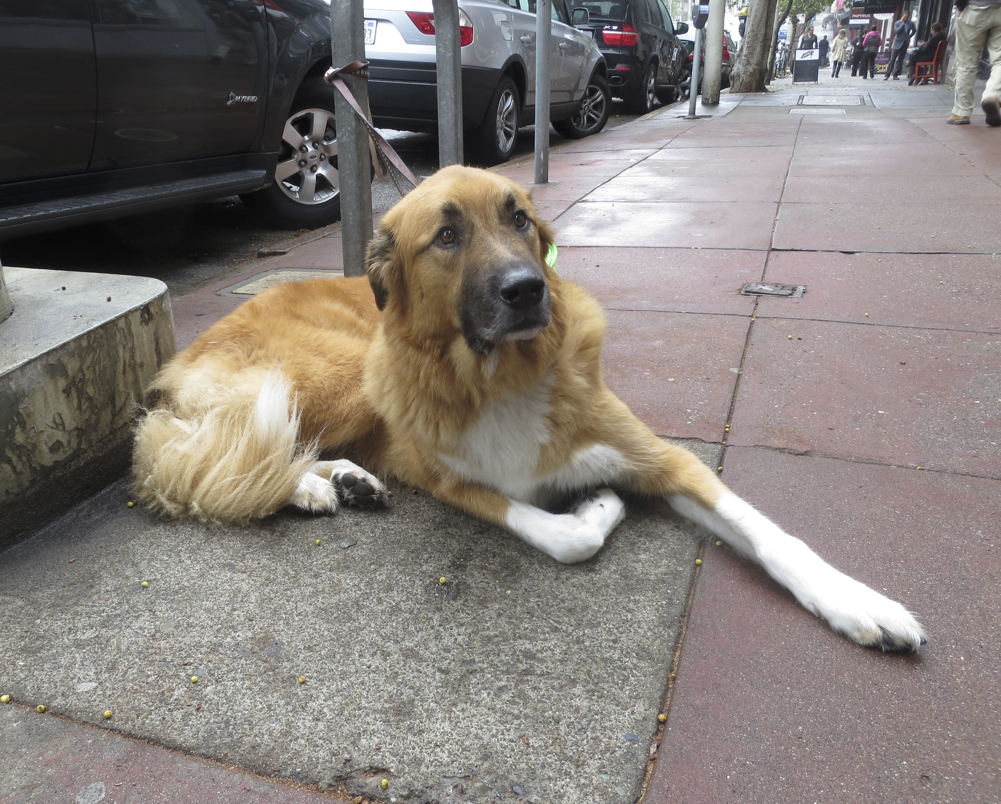 mix with golden retriever displaying 18 images for st bernard mix ...