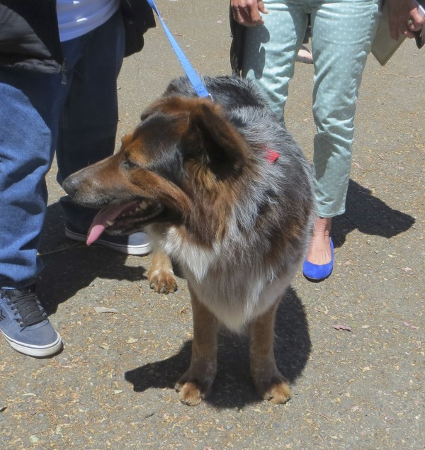 Blue Merle Australian Shepherd/German Shepherd Mix
