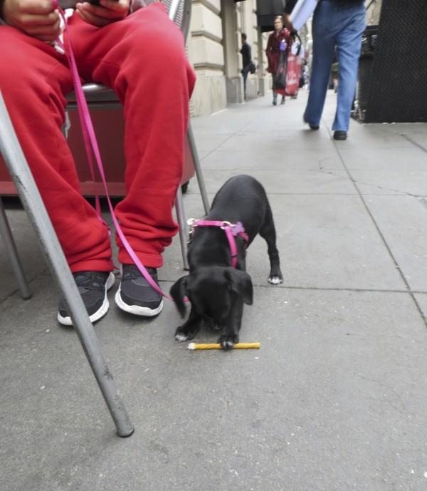 Black Chihuahua/Pit Bull Puppy
