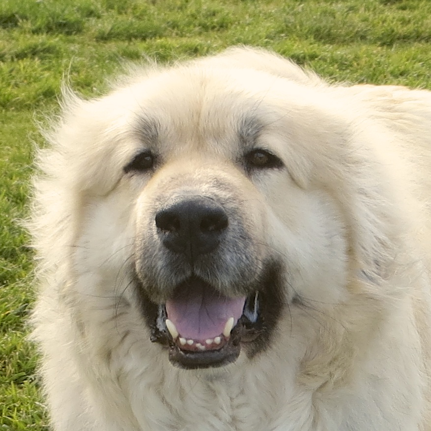 Dog of the Day: Jax the Anatolian Shepherd/Great Pyrenees ...