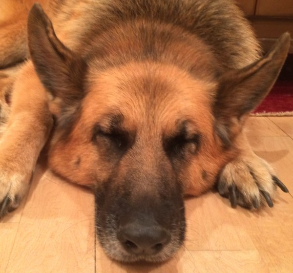 Sleeping German Shepherd