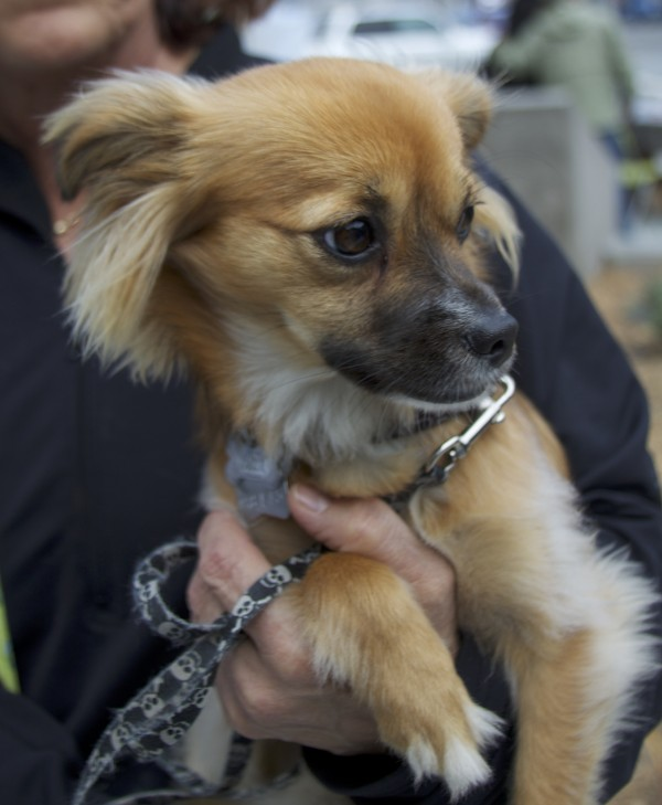 Tan-and-Whtie Pomeranian/Chihuahua/Dachshund Mix With Lots Of Ear Hair And Black Mask
