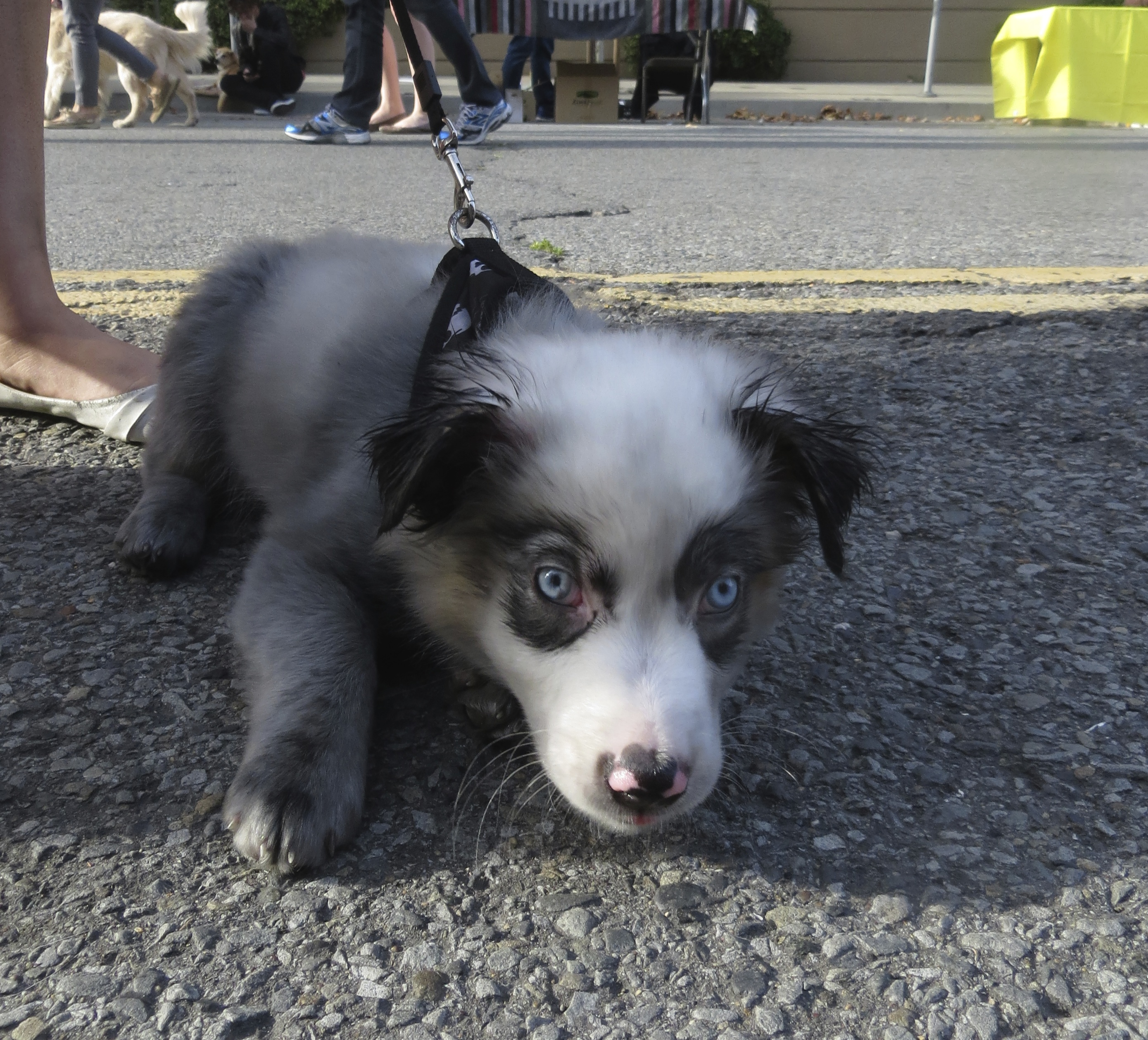 Australian Shepherd Puppy with Blue Eyes and Pink Spots on Nose