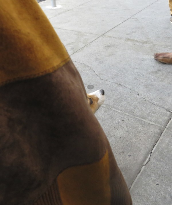 4-Month-Old Red Pembroke Welsh Corgi Puppy Peeking Out From Behind Woman's Jacket