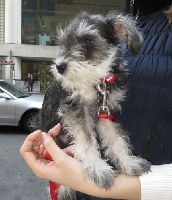 Black-And-Silver Miniature Schnauzer Puppy