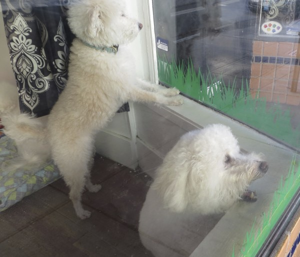 Two Poodles Trying To Escape a Grooming Parlor