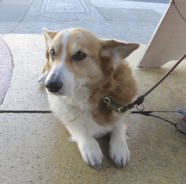 Red Pembroke Welsh Corgi Giving Me The Stink-Eye