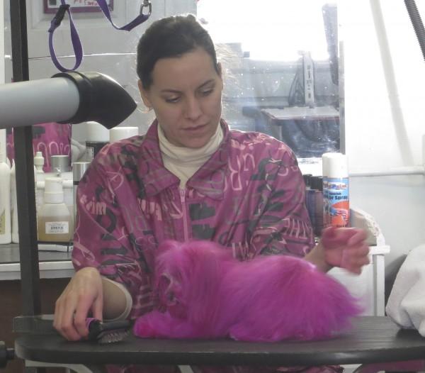 Pink Poodle Being Groomed