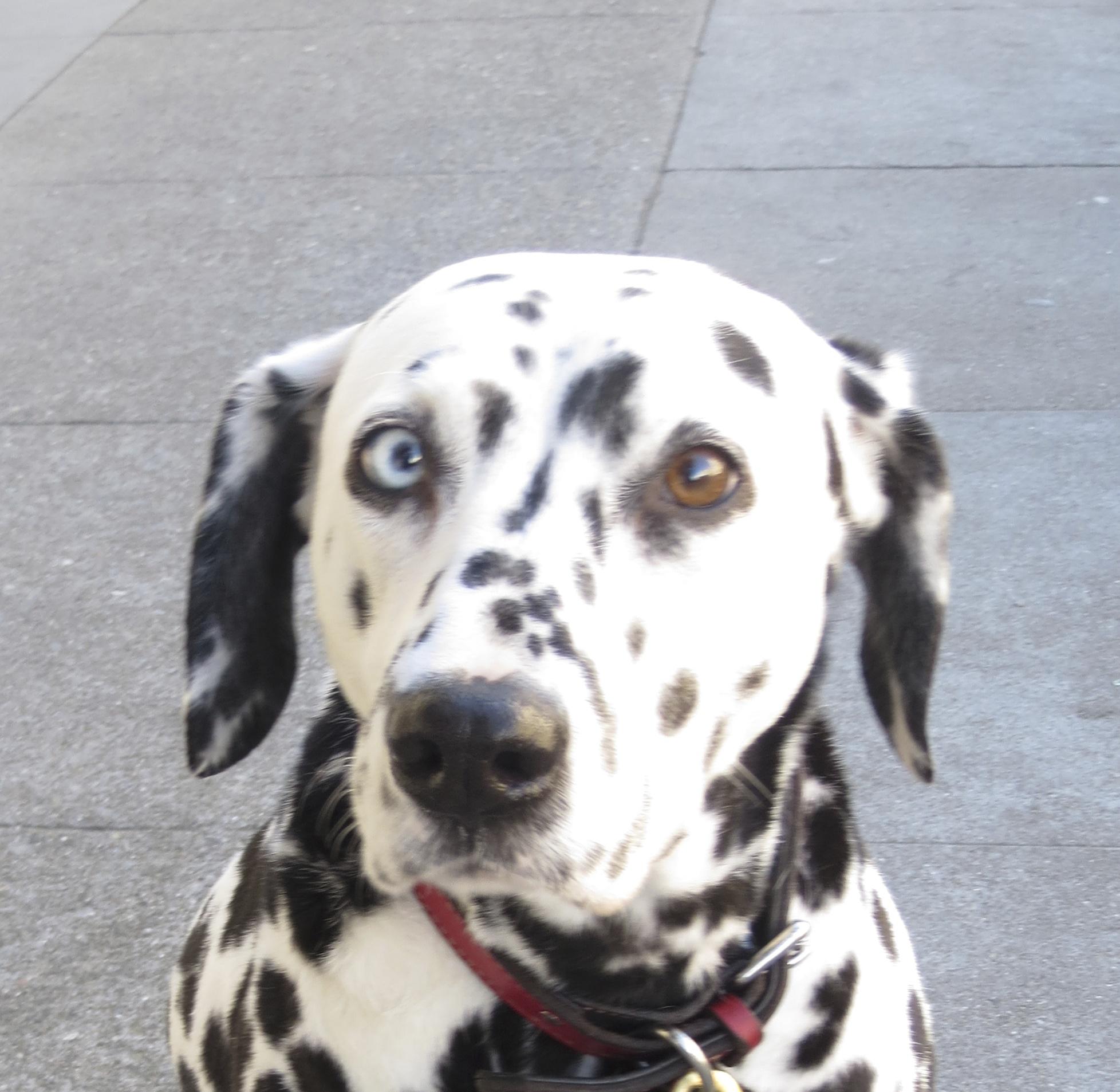 Dalmatian With Heterochromia