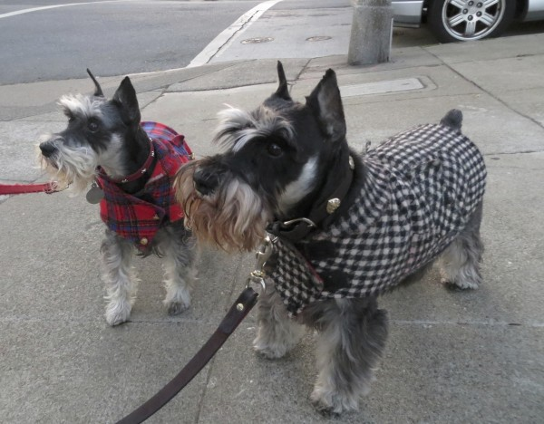 Two Black-and-Grey Schnauzers With Coats