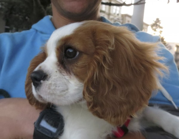 Cavalier King Charles Spaniel Puppy Head