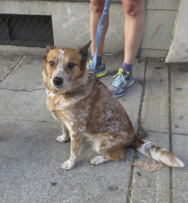 Red Merle Australian Cattle Dog/Beagle Mix