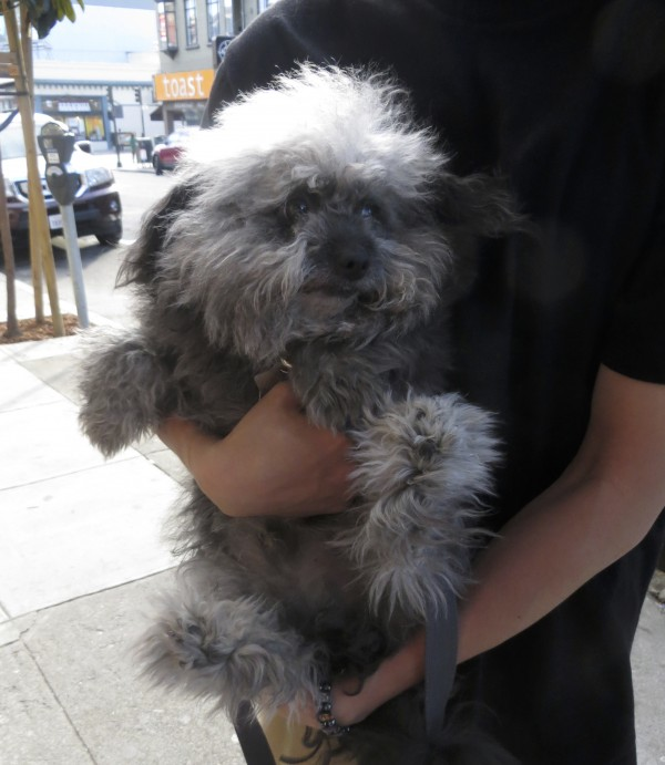 Extremely Fluffy Grey Miniature Poodle Mix