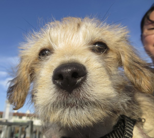 Tan-and-White Silky Terrier/Poodle Mix Puppy Poking Nose Into Camera