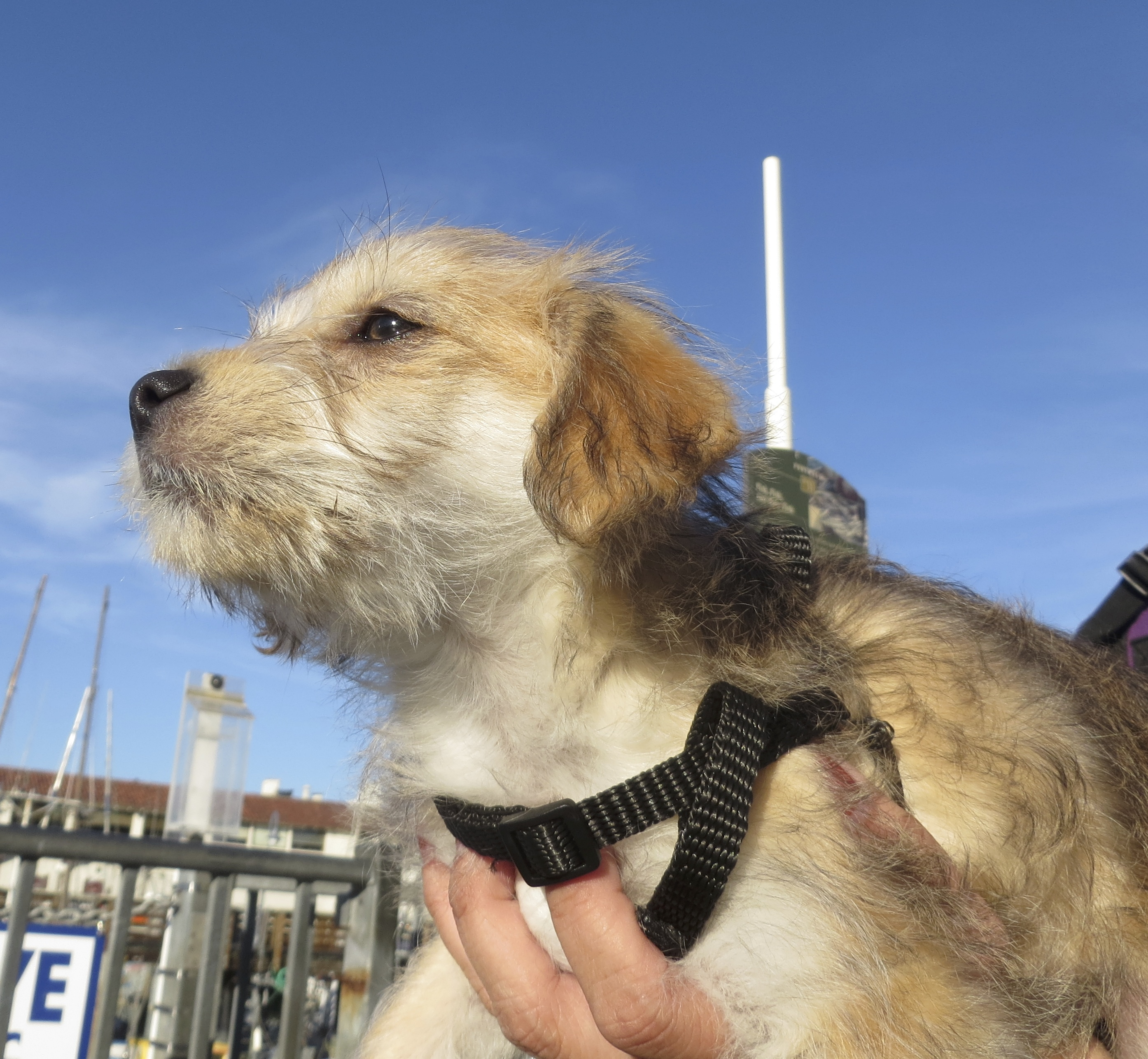 Tan-and-White Silky Terrier/Poodle Mix Puppy With White Antenna Coming Out Of His Back