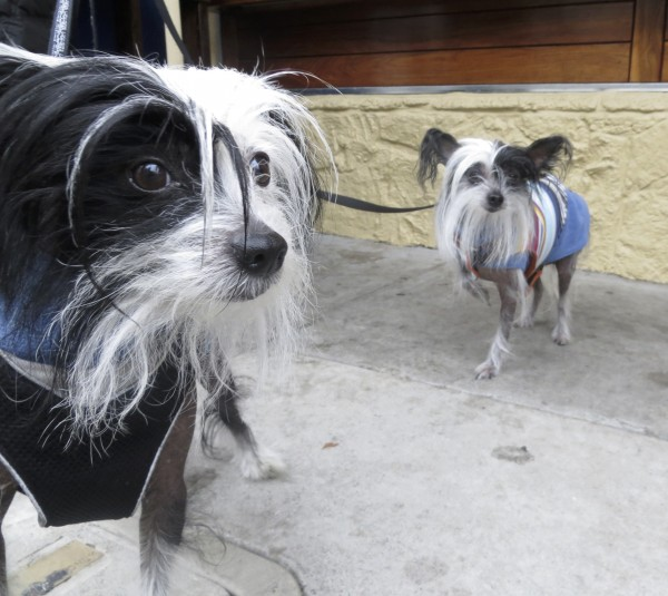 Two Black-And-White Chinese Crested Dogs