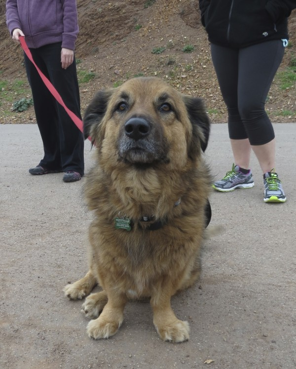 Dog Of The Day Teddy The Just Adopted Corgigerman Shepherdchow