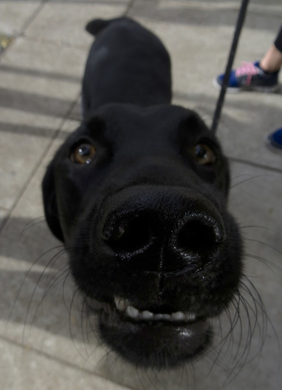 Black Labrador Retriever With His Nose In The Camera, Looking Like a Seal