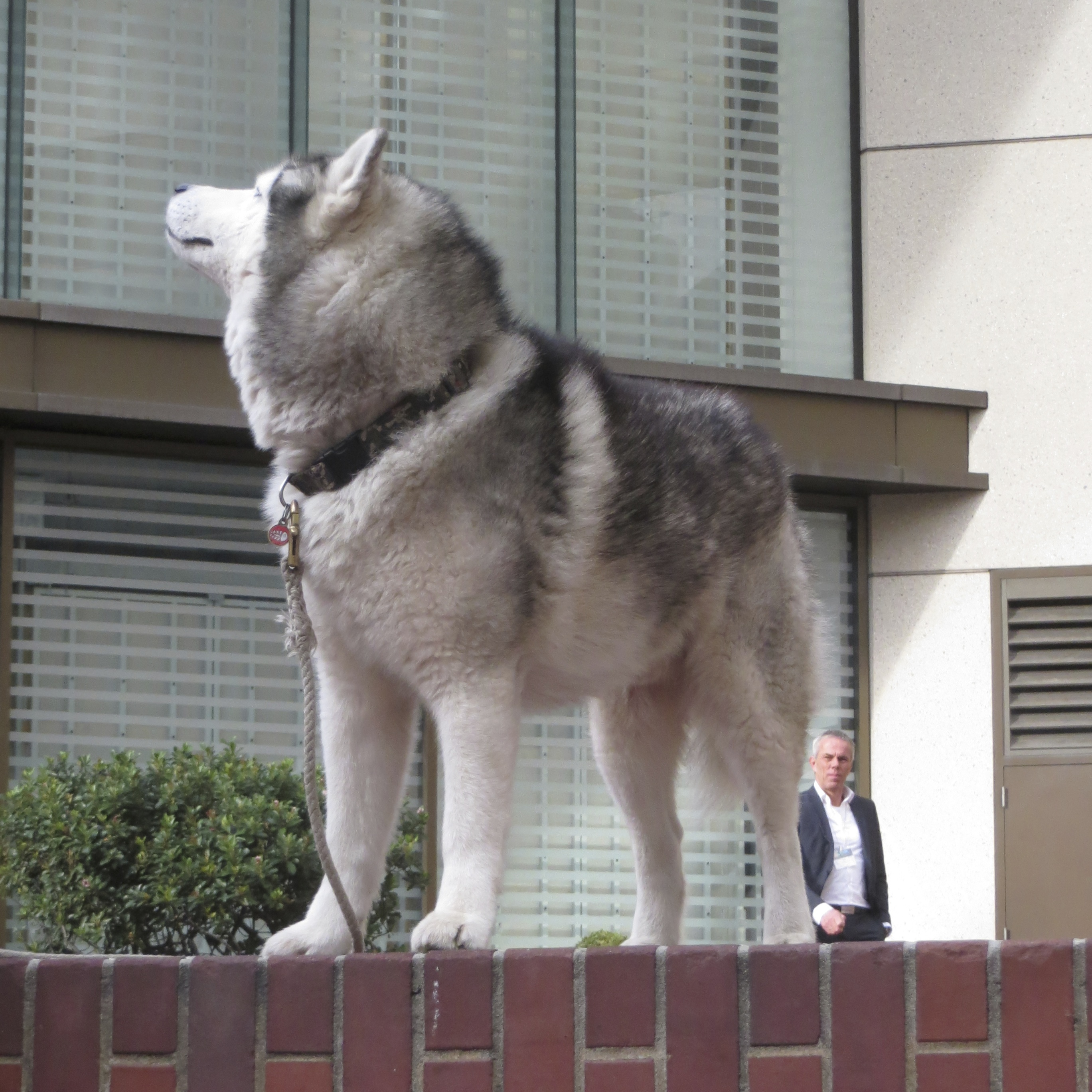 Silver-and-White Siberian Husky