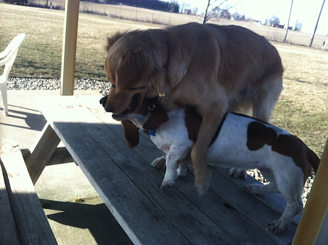 Golden Retriever Playing With Basset Hound