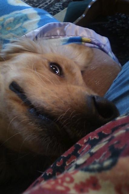 Goofy Golden Retriever Face