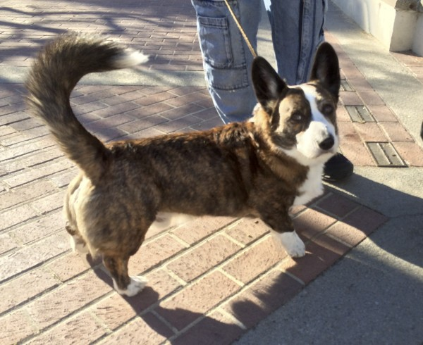 Brindle-and-White Cardigan Welsh Corgi With White Tail-Tip