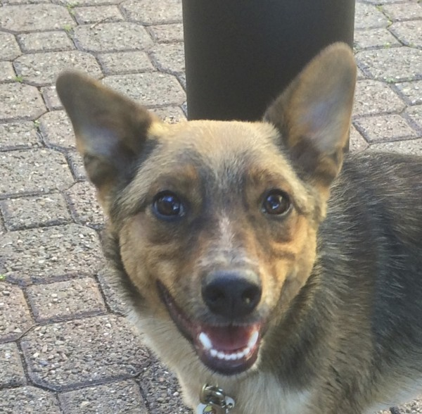 Australian Cattle Dog Mix Puppy That Looks Like a Tiny German Shepherd Grinning