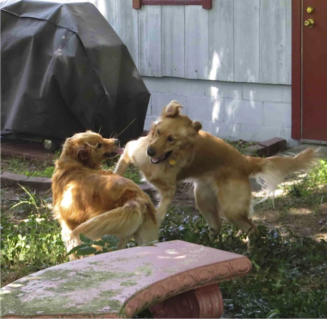Two Golden Retrievers Playing