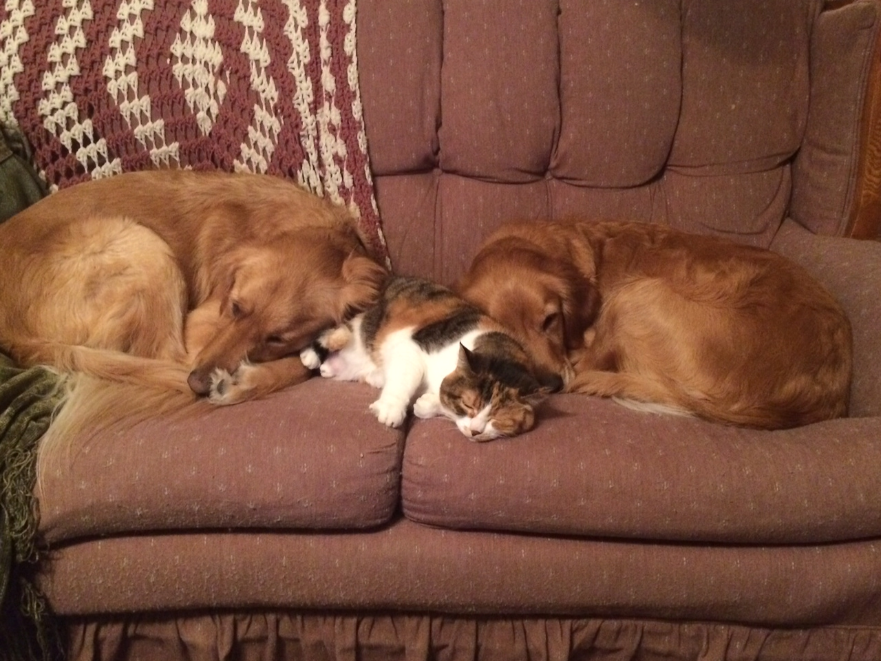 Two Golden Retrievers And A Calico Tabby Cat Sleeping