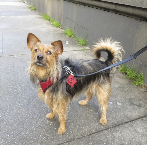 Australian Terrier/Yorkshire Terrier Mix With Ridiculous Ears