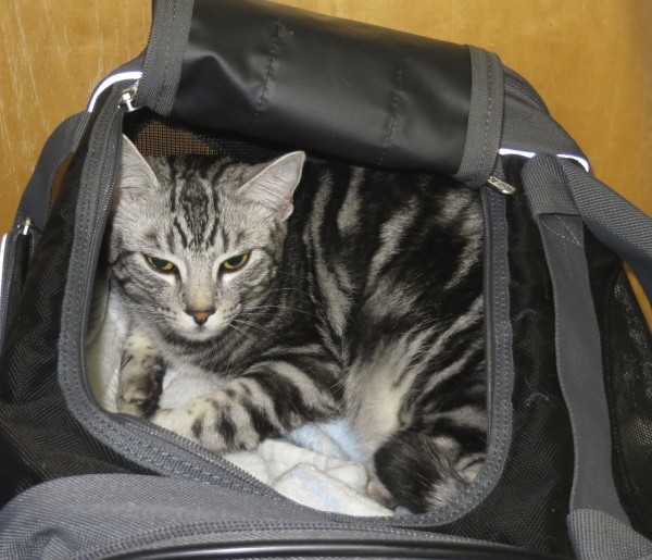 Grey Tiger Tabby Cat in a Tote Bag