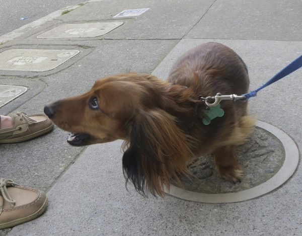 Chocolate Long-Haired Dachshund
