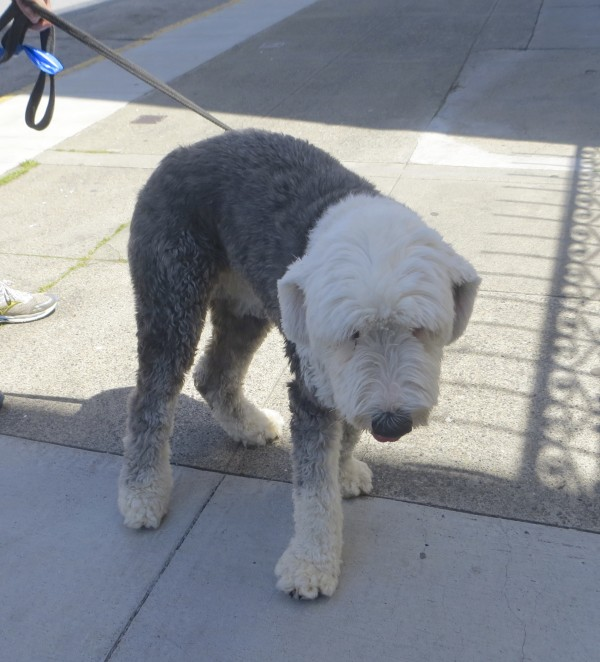 Grey And White Shaved Old English Sheepdog