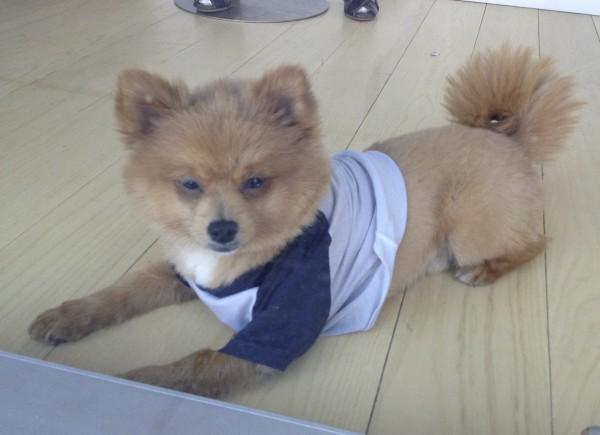 Pomeranian in a Tee Shirt Sitting in a Window