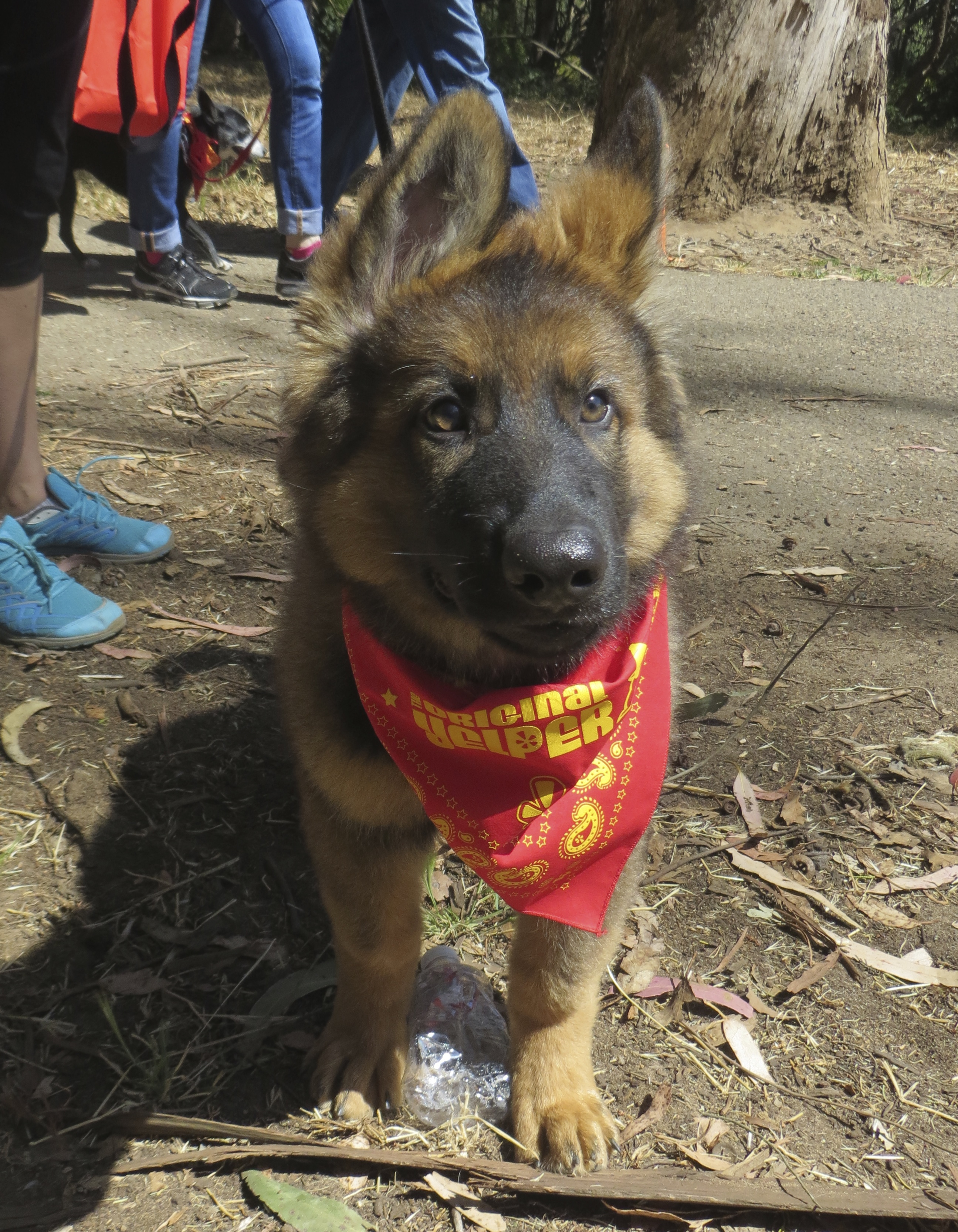 German Shepherd Puppy With Ridiculous Ears