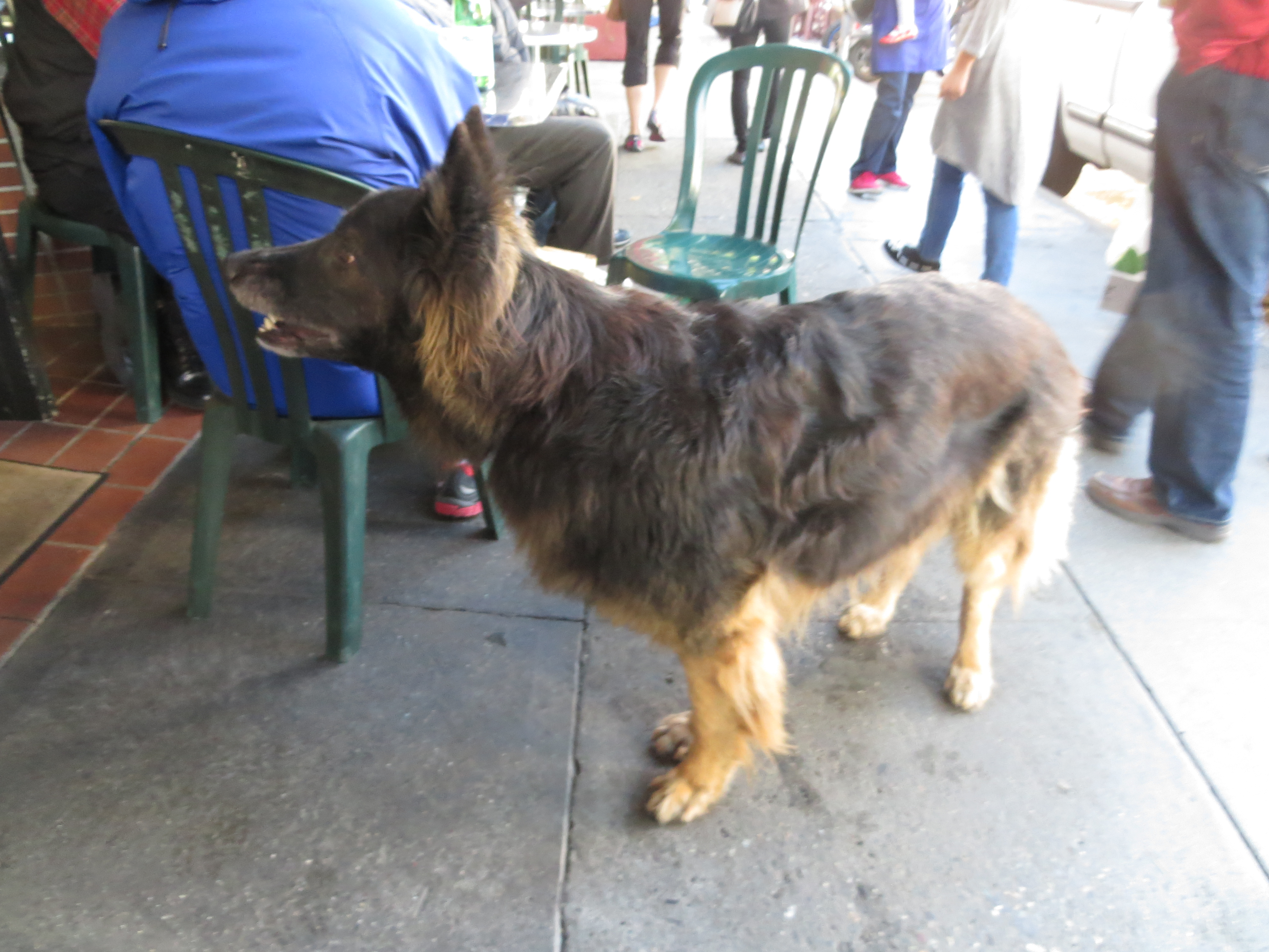 Long-Haired German Shepherd